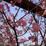 金刀比羅宮-参道の桜-