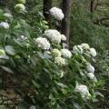大窪寺 紫陽花