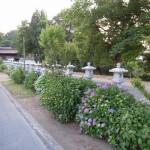 法然寺 紫陽花