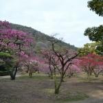 栗林公園 梅