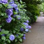 出釈迦寺 紫陽花