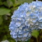 女軆神社 紫陽花